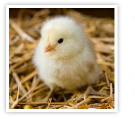 Chick Picture at CHF